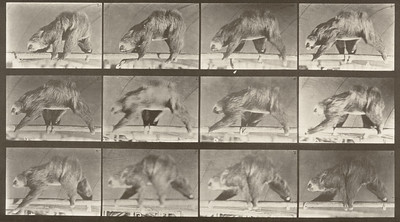Sloth walking suspended on a horizontal pole (Animal Locomotion, 1887, plate 750)