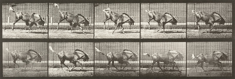Gnu bucking and galloping (Animal Locomotion, 1887, plate 702)