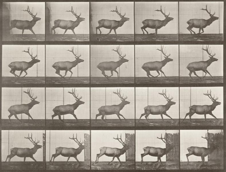 Elk galloping (Animal Locomotion, 1887, plate 693)