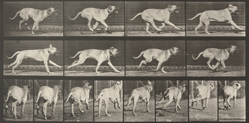 Dog Dread galloping (Animal Locomotion, 1887, plate 707)