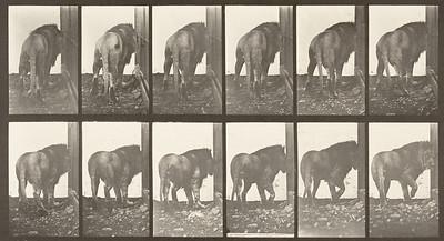 Lion walking and turning around (Animal Locomotion, 1887, plate 724)