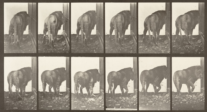 Lion walking and turning around (Animal Locomotion, 1887, plate 724)