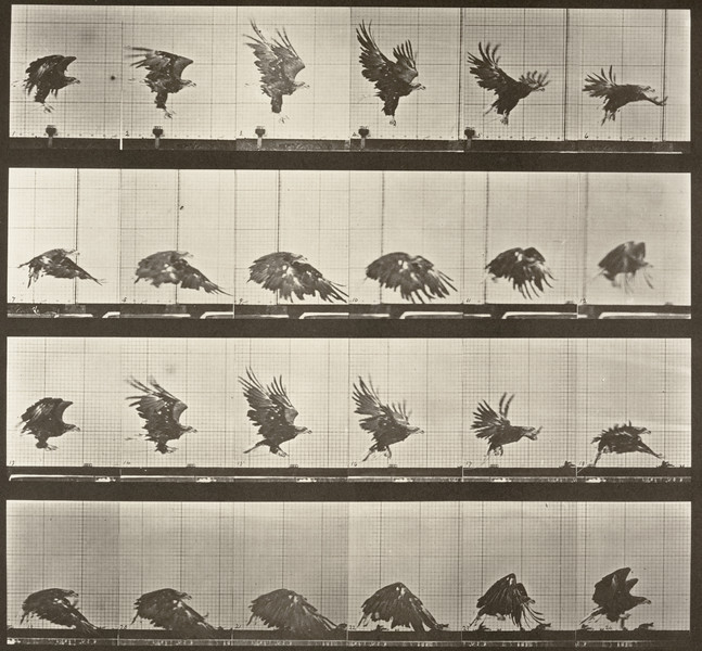 American eagle flying near the ground (Animal Locomotion, 1887, plate 770)
