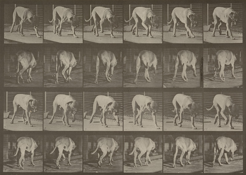 Dog Dread walking (Animal Locomotion, 1887, plate 704)