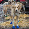 Dog in blue boots1A