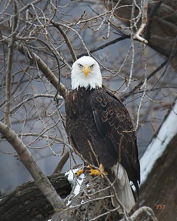Eagles Eagles Eagles
