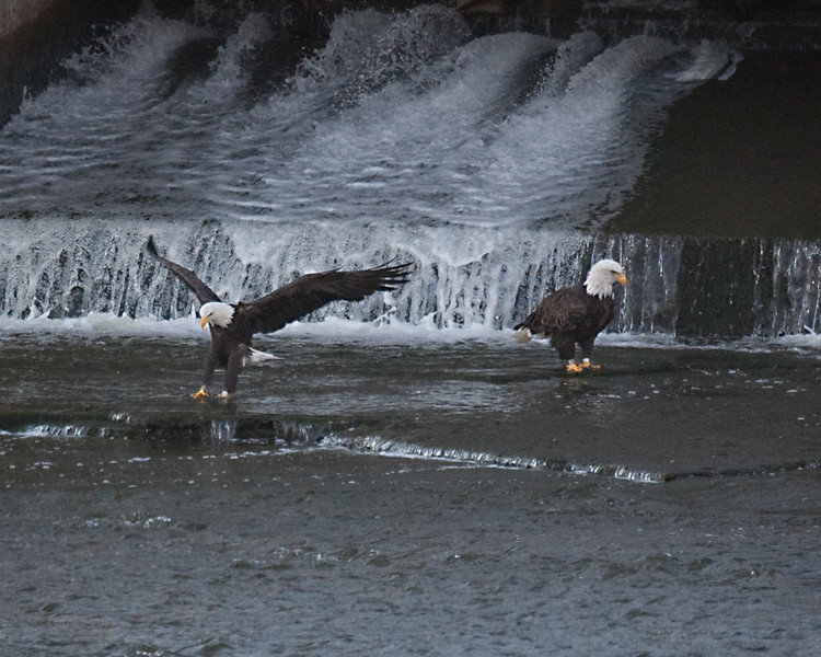 TJ Eagle3 - Eagles on Fox River