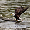 RM Landing - Eagle on Log