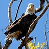 RM Eagle - Eagle in Tree