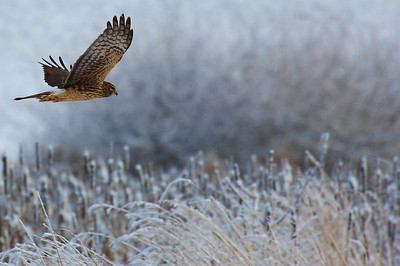 ~ Northern Harrier Hawk ~