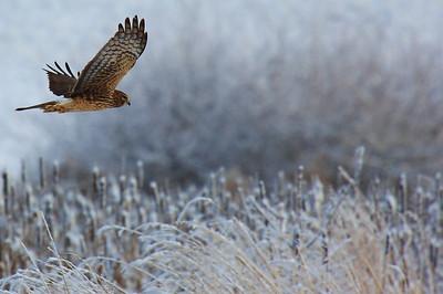 ~ Northern Harrier Hawk ~