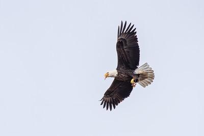 Eagle Bird-9