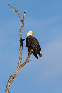 Shady Oak Eagle #6