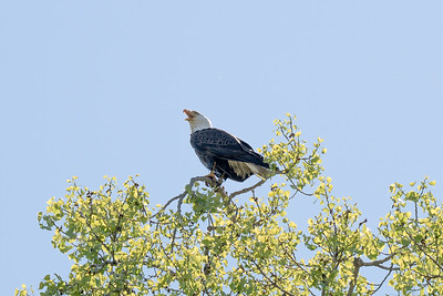 Eagle Bird-6