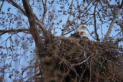 Eagle Bird-2