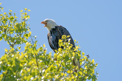 Eagle Bird-8