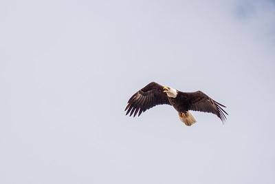 Eagle Bird-7