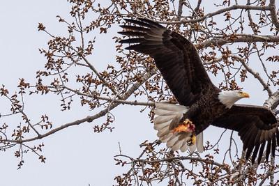Eagle Bird-3