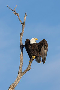 Shady Oak Eagle #7
