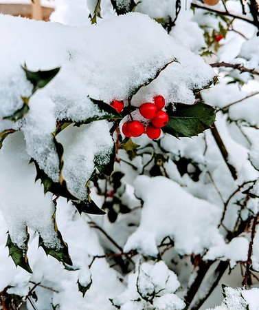 Sopheap Nhim sent us this photo of holly berries peeking out of the first snow.