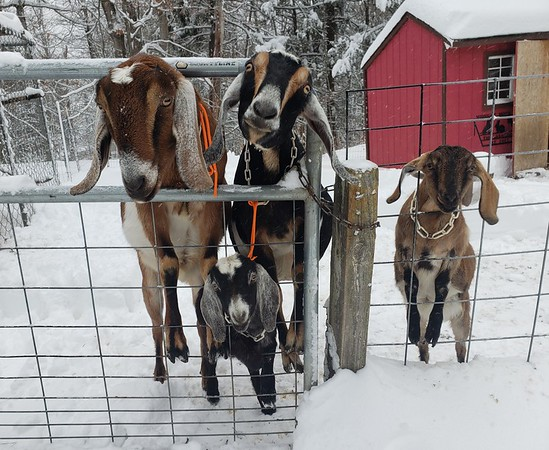"""Roberta Sarnacki sent us this snap and writes: """"Teddy, Oscar, Bella Rose and Delilah Mae; the Nubian goats at Midnight Moon Farm in East Otis, MA, are enjoying themselves in at least 12 inches of new snow!"""""""
