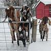 "Roberta Sarnacki sent us this snap and writes: ""Teddy, Oscar, Bella Rose and Delilah Mae; the Nubian goats at Midnight Moon Farm in East Otis, MA, are enjoying themselves in at least 12 inches of new snow!"""