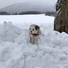 Wendy Penner sent us this pic of her brave snow dog, Peewee.