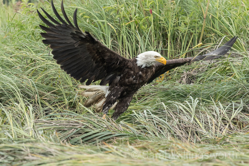 kasilof bald eagle
