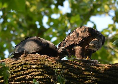 Eagle and Vulture