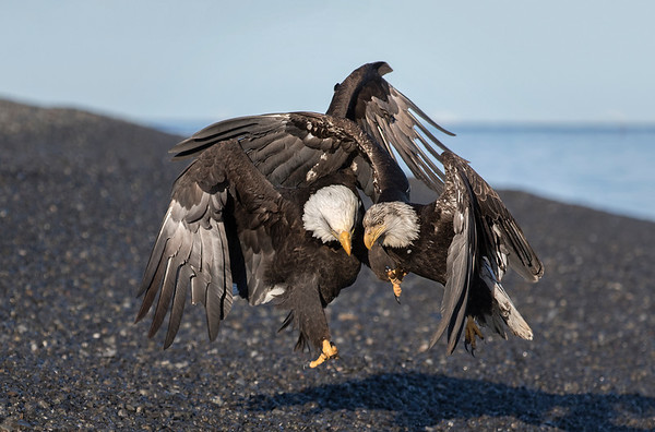 Eagles At Kachemak Bay, Alaska