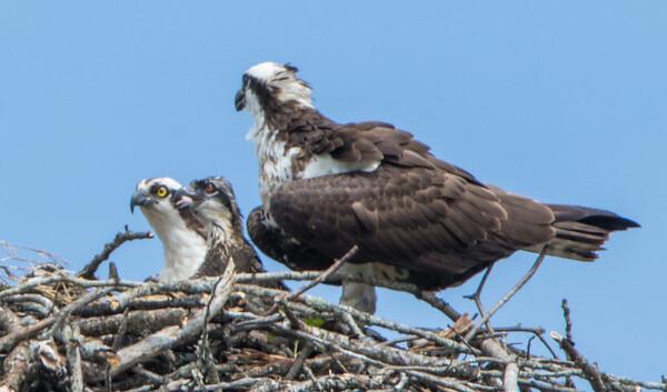 osprey  sm     5