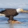 eagle         2211