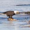 eagle         1511