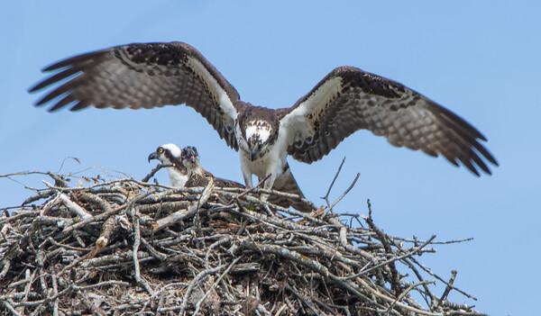 osprey sm      17