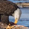 eagle         2911