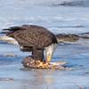 eagle         1211