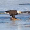 eagle         2111