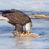 eagle         2511