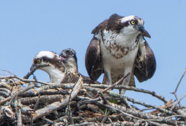 osprey  sm     18