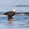 eagle         311