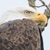 eagle    s,m     12
