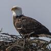 eagle                       1511a