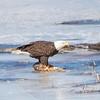 eagle         1611
