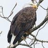 eagle   sm      11