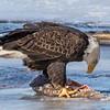eagle         3011