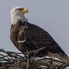 eagle                       1111a