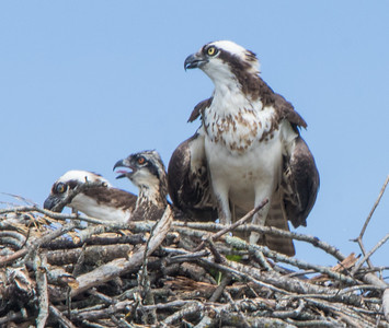 osprey  sm     21