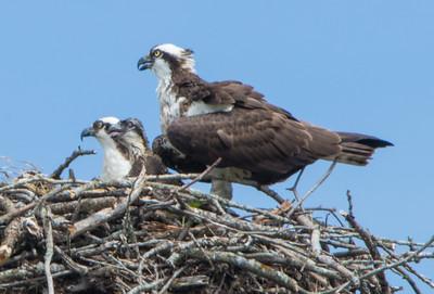 osprey    sm   2