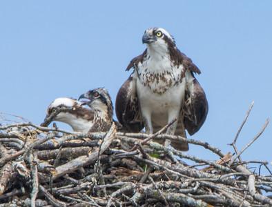 osprey   sm    20