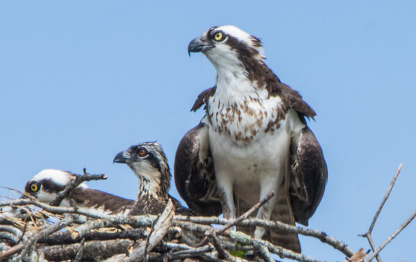 osprey    sm   22